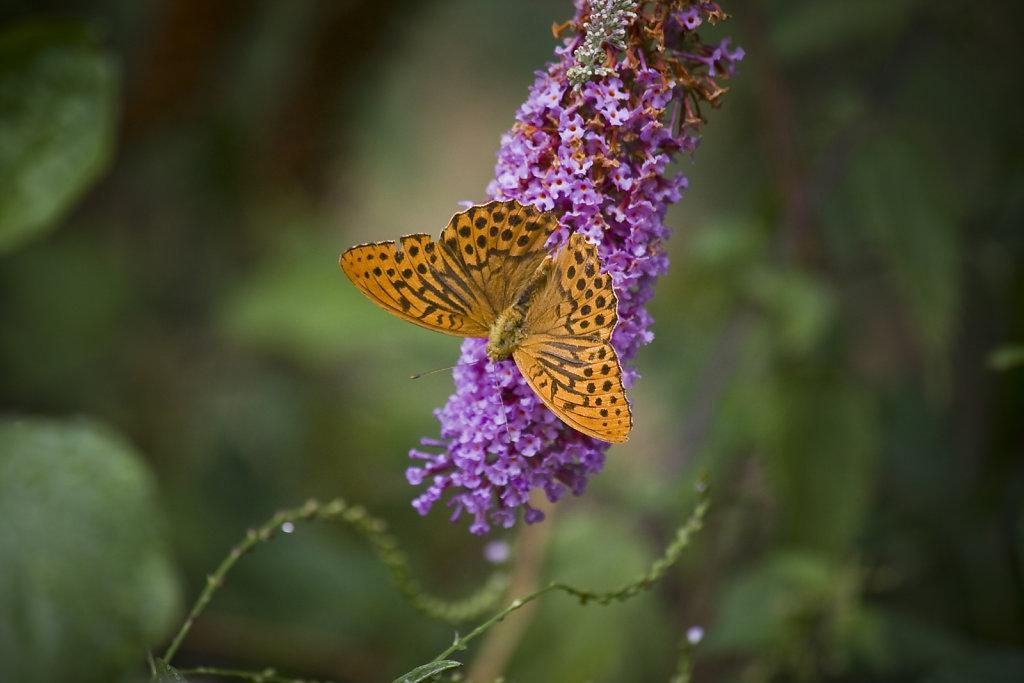 mariposa-francia.jpg