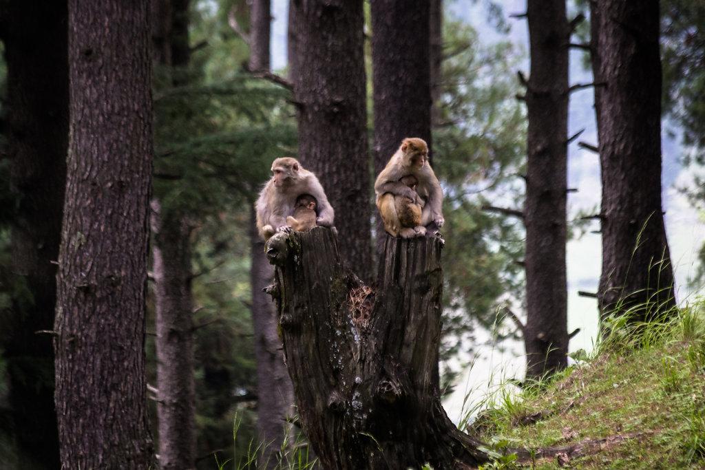 Monkeys, Kashmir