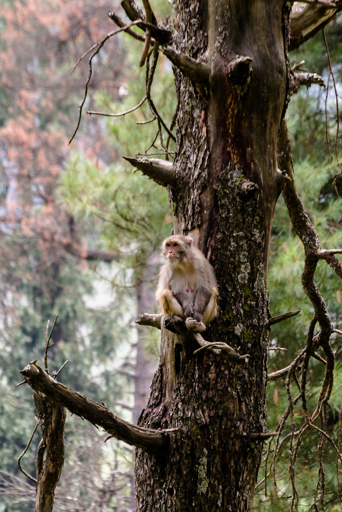 Monkeys, Kashmir