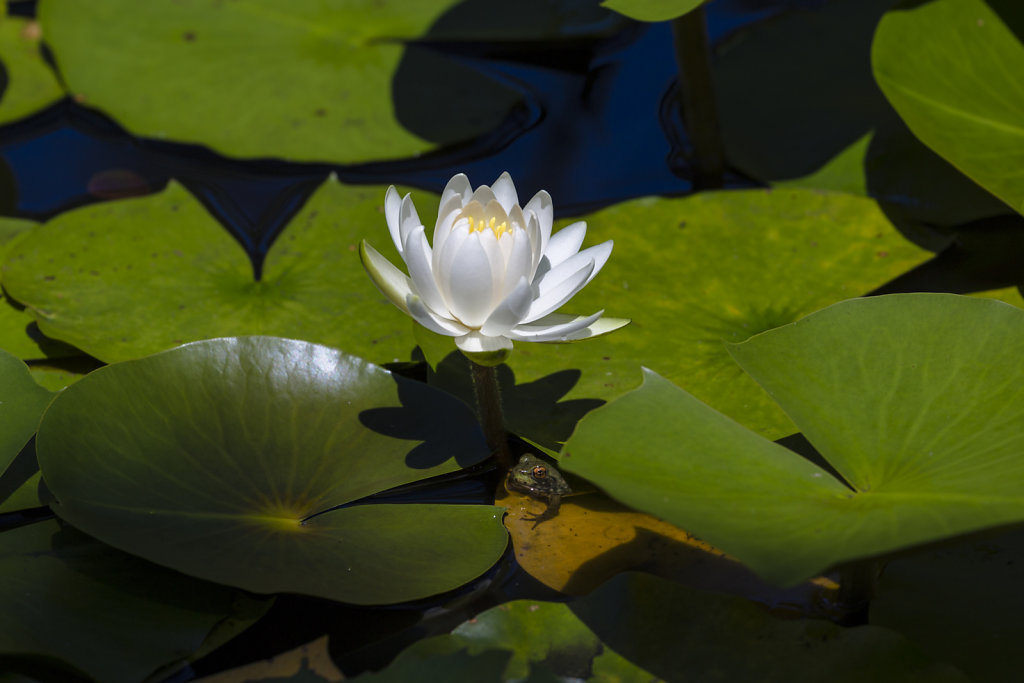Frog and lotus flower
